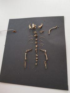 Skelett Gewölle